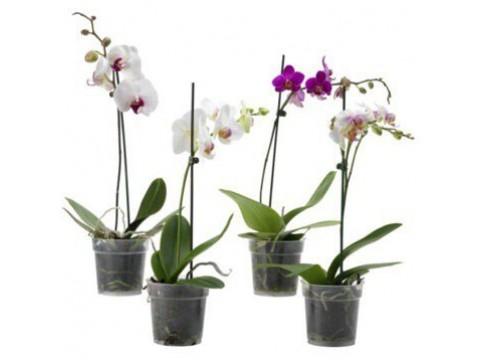 Орхідея 2